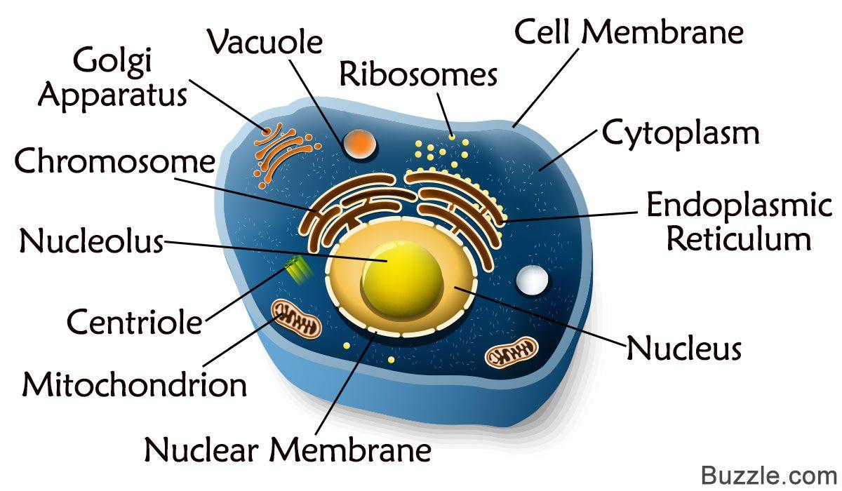 medium resolution of animal cell diagram