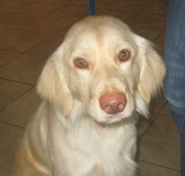 Adopt Belle Tulsa On Golden Retriever Rescue Adoption Shy Girls