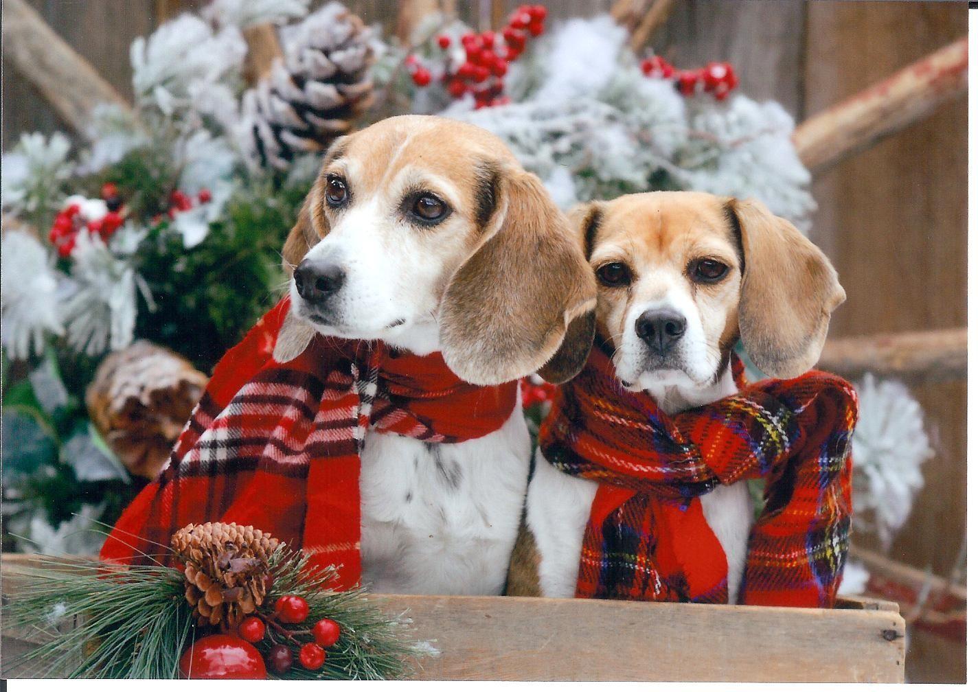Christmas beagles <3 so cute! | beagle puppies | Pinterest ...