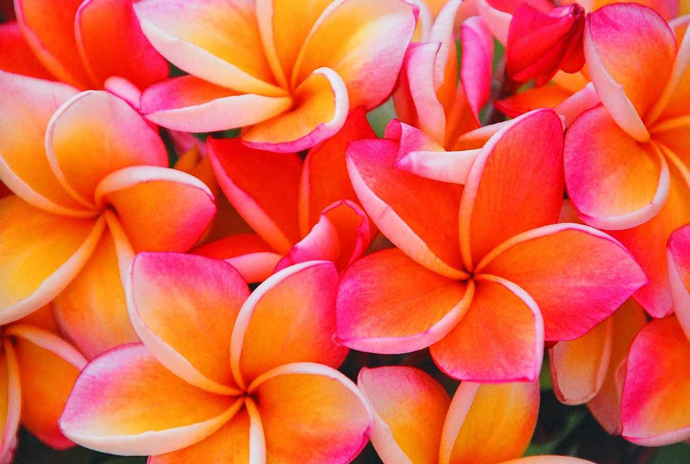 Frangipani - The most beautiful smelling flowers in the world ...