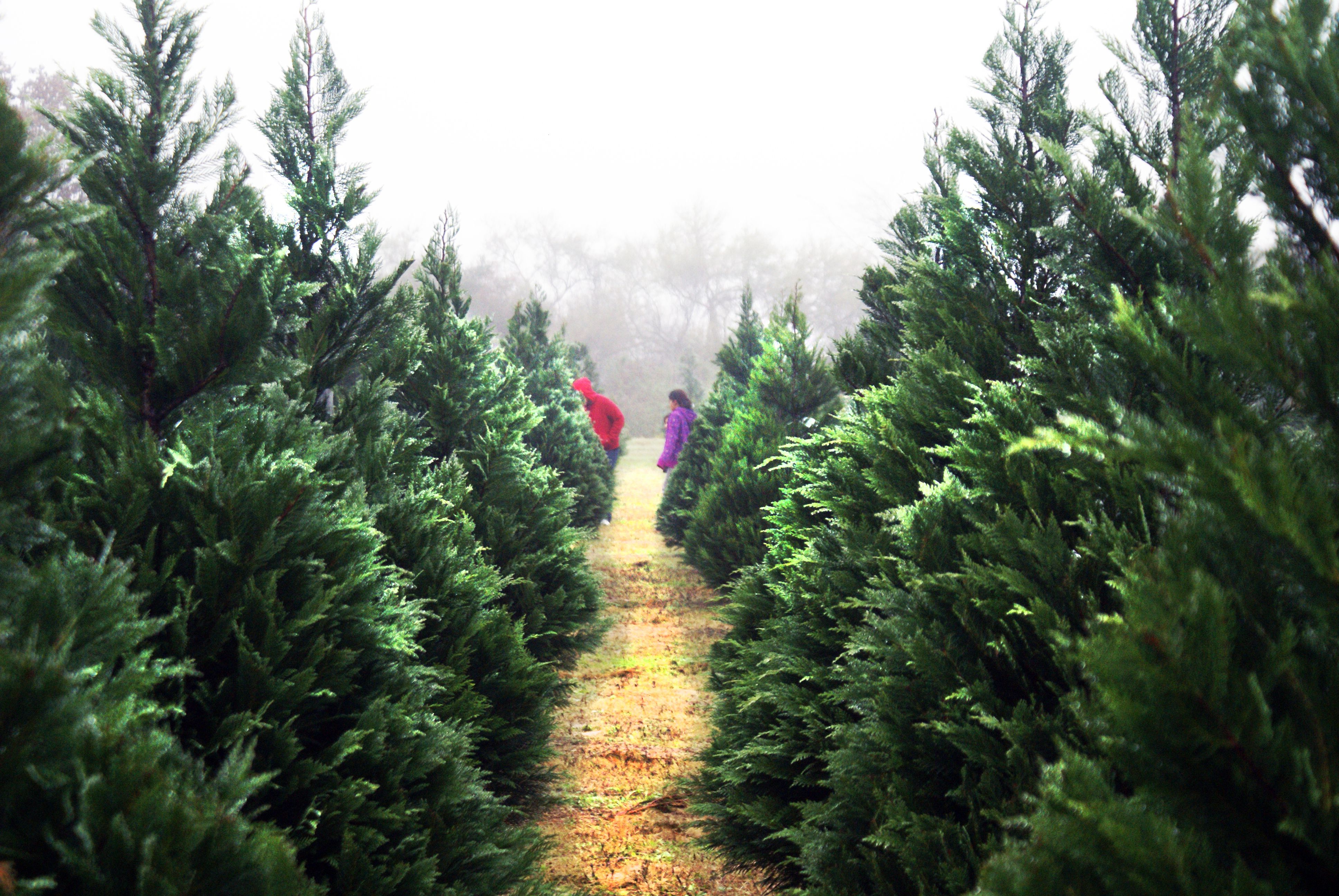 Our favorite photo of Christmas trees at Dewberry Farm.   Christmas ...