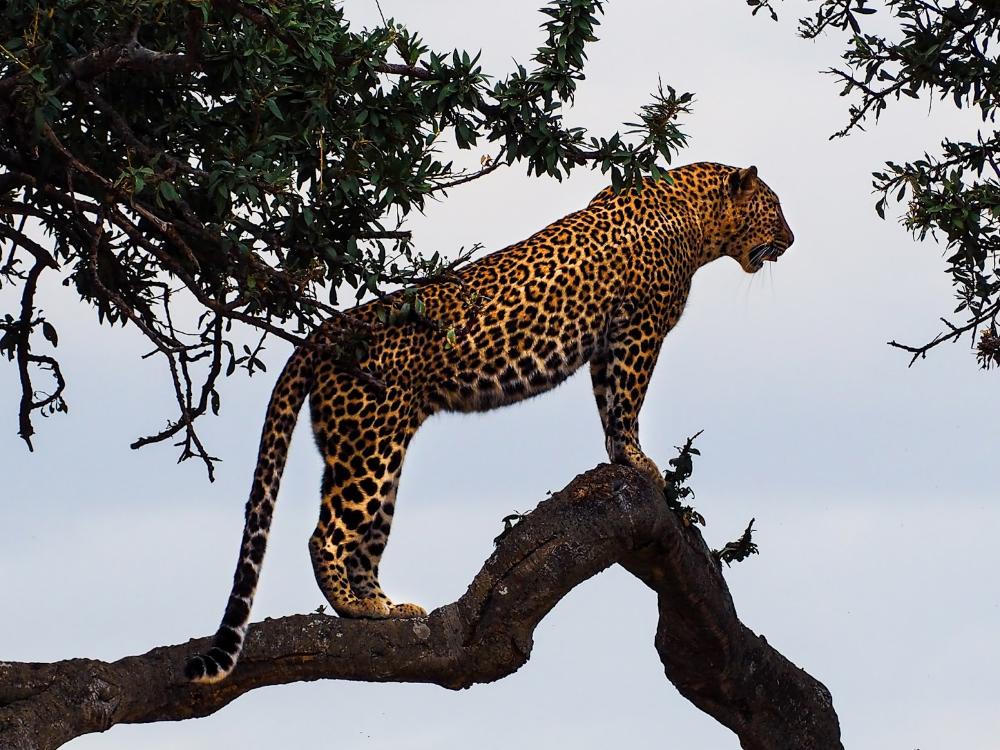 Leopard Macan Tutul Afrika Kucing Besar Terkecil Panter Foto Canvas Schilderij