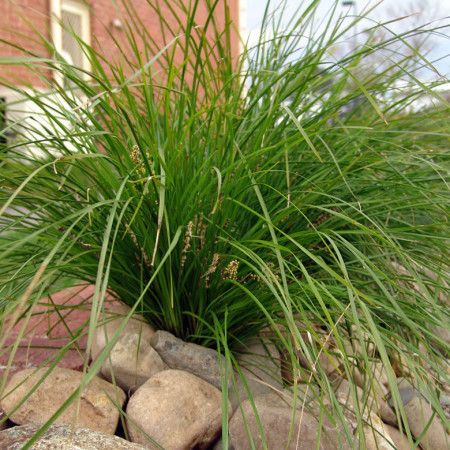 Lomandra Breeze Alternative In Front Of Short Wall At Stairs To