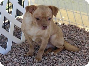 Pictures of Timmy a Chihuahua/Pug Mix for adoption in