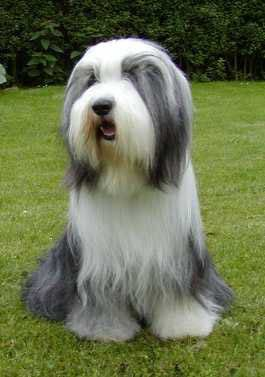 Pin By Big Dog Rescue On Bearded Collie Bearded Collie Dog