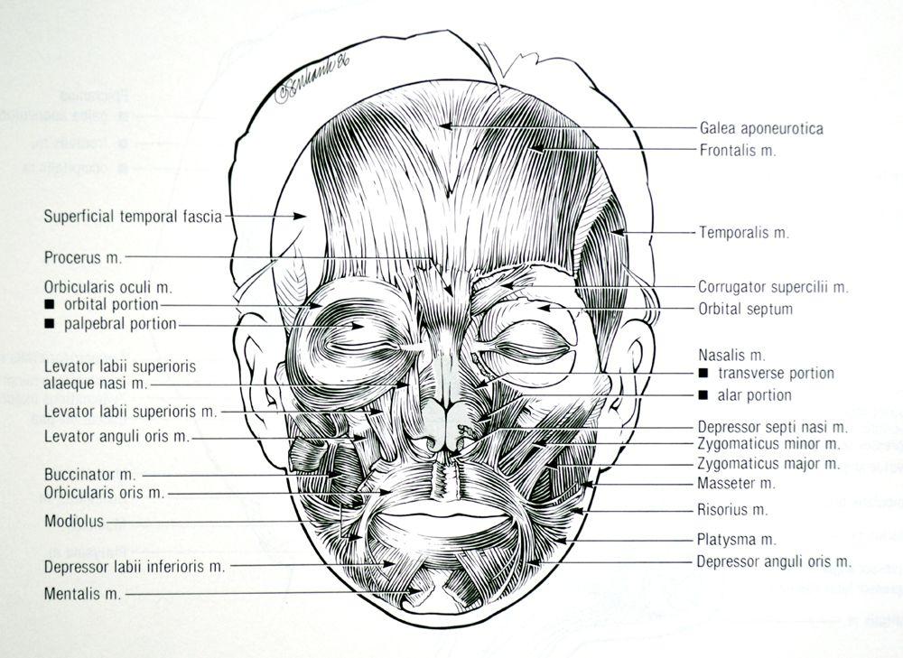 Gemütlich M. Orbicularis Oris Galerie - Menschliche Anatomie Bilder ...