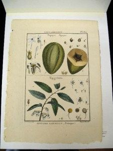 Lamarck Histoire Botanical Engraving Papaya Wild by PeggysAntiques, $57.50