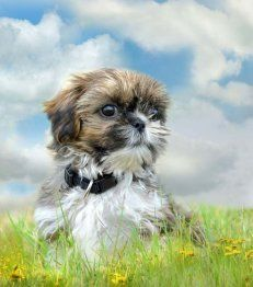Shih Tzu Names Cute Male Female Names For Your Pup Dog Names