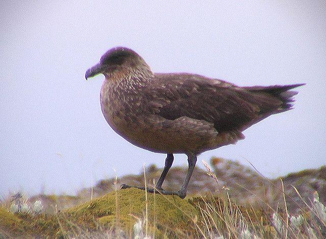 Stercorarius chilensis (Chilean Skua)  Arthur Chapman