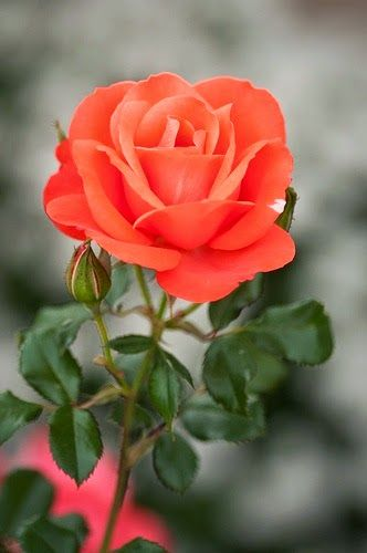 Marmalade Skies Rose. What a Pretty Color. ~ Travels Spot