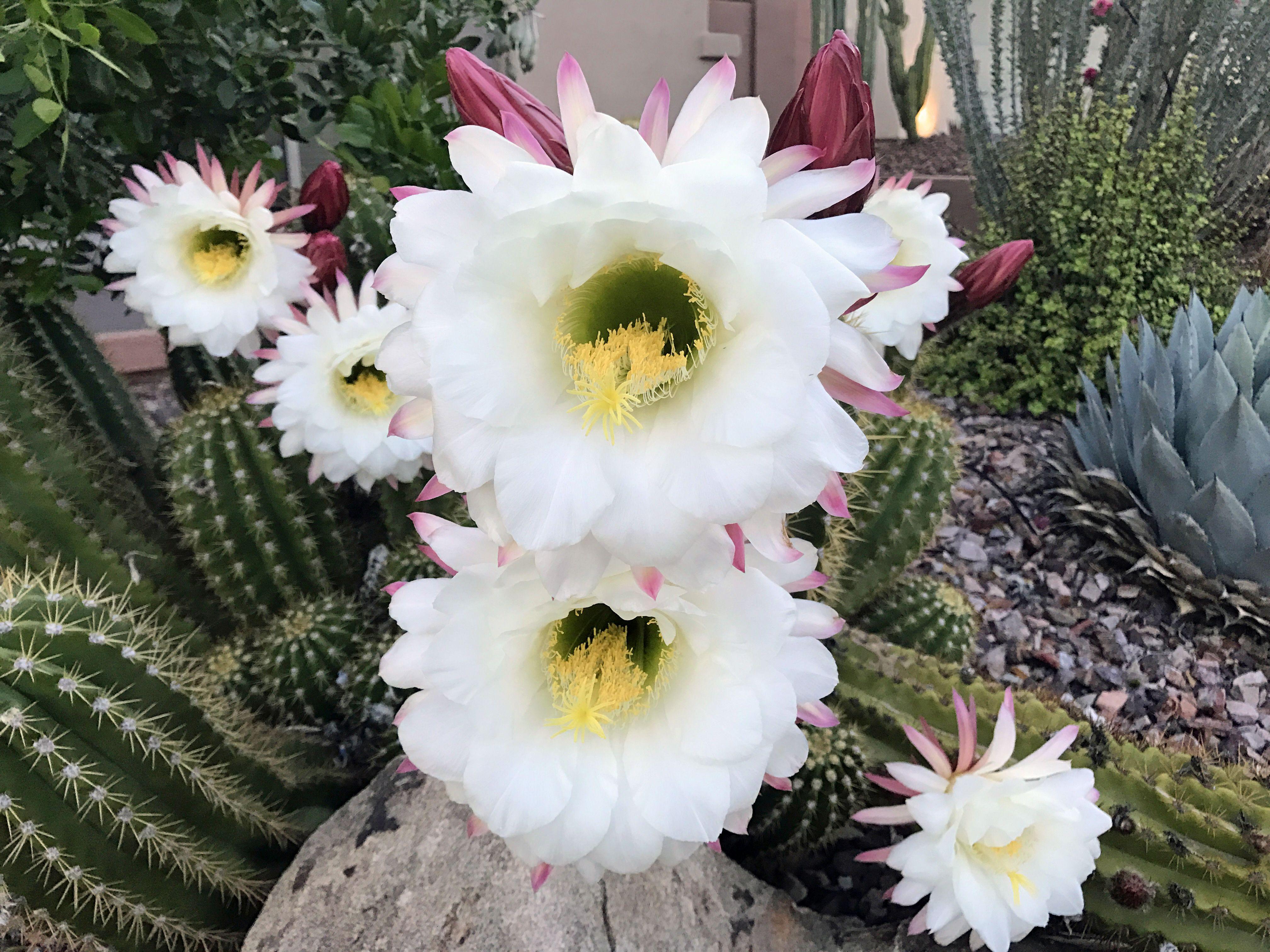 White And Pink Cactus Flowers Anthem Arizona Garden Pinterest