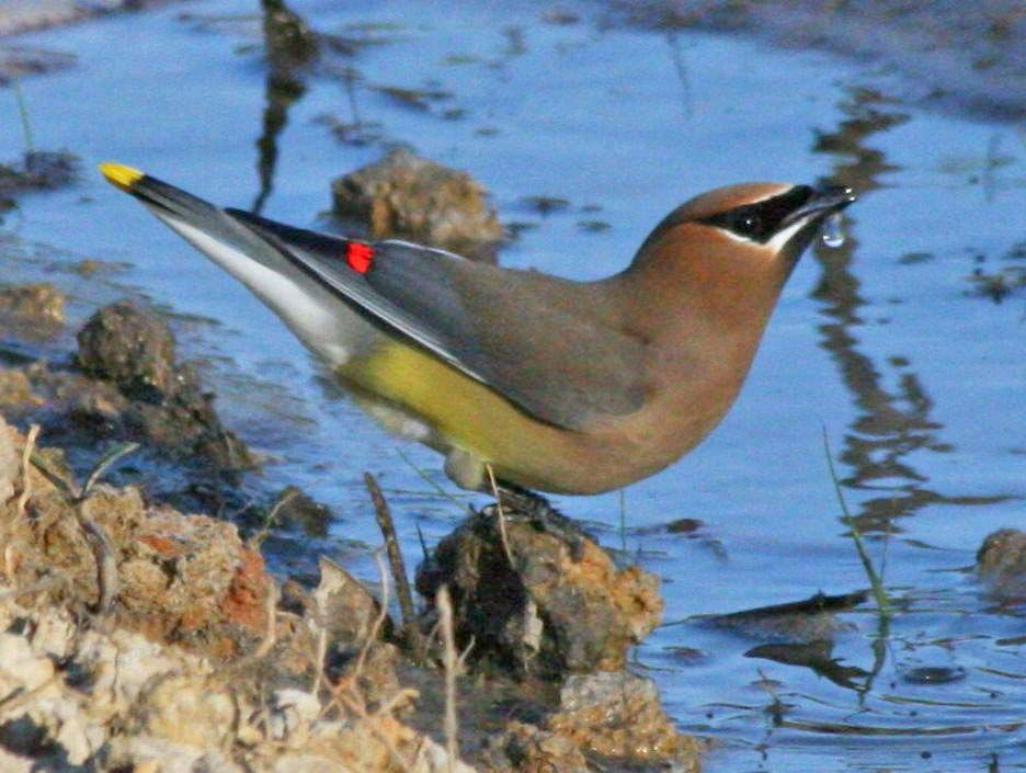 Birds of The World: WAXWINGS