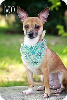Wilmington, DE - Chihuahua Mix. Meet Tyco a Dog for Adoption.