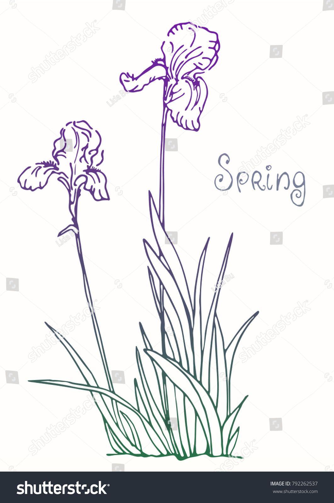 Iris Flower Botanical Drawing Sketch Realistic Nature Vector