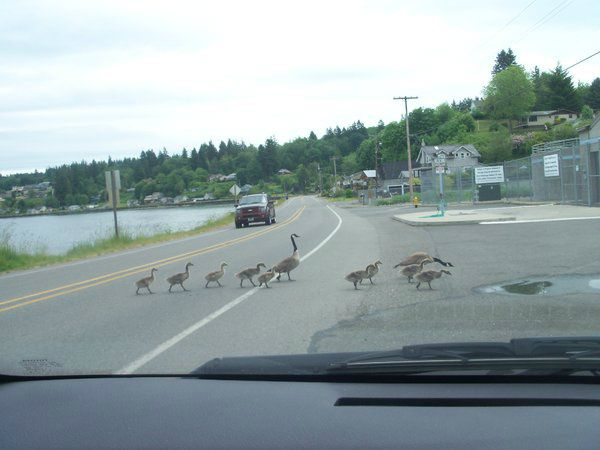 Get a gander at this gaggle! (Photo: flossboss in South Kitsap)