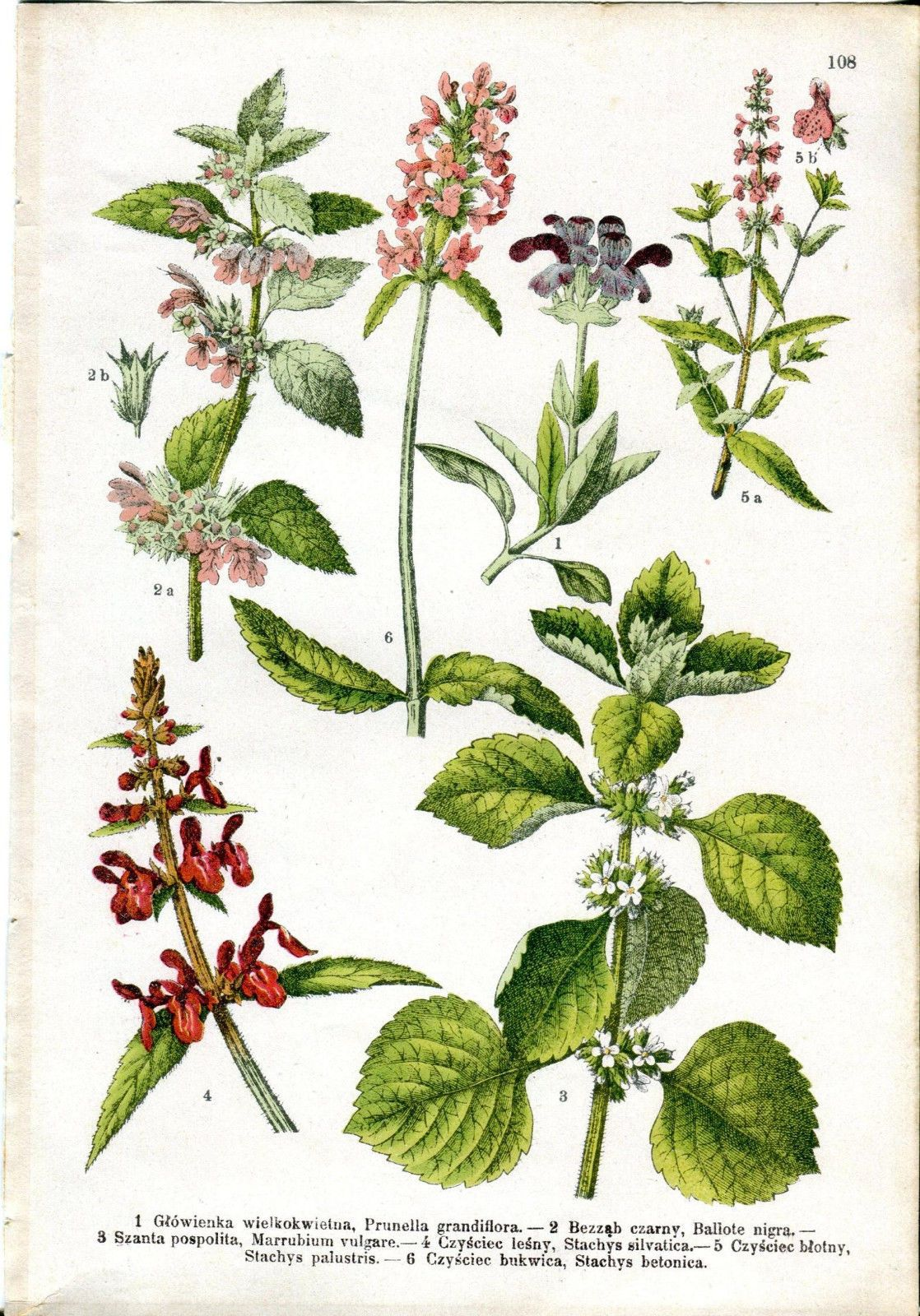 1900 BOTANICAL Large-flowered selfheal Hedge woundwort Antique Print | eBay
