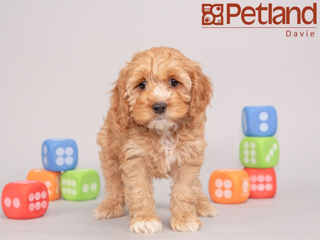 Petland Florida has Cockapoo puppies for sale! Interested