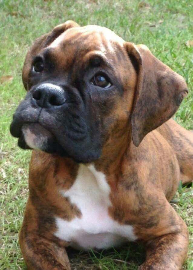 Rigdon Out Of Florida Boxer Puppy Boxer Dogs Boxer Puppies