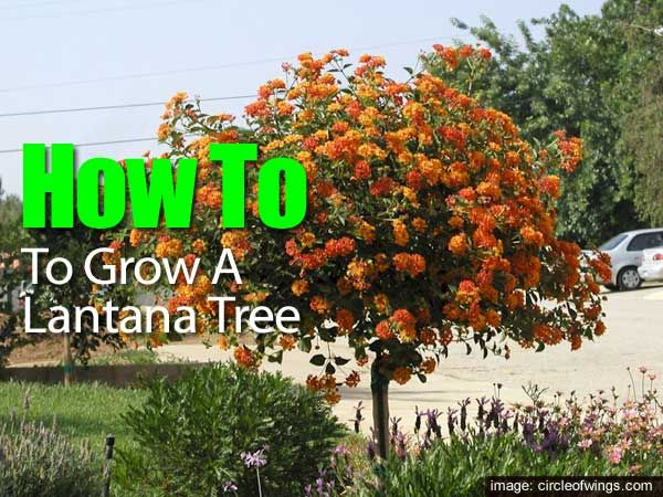 Lantana Bush Care How To Grow Lantana Plant And Trees Lantana Tree Lantana Plant Lantana