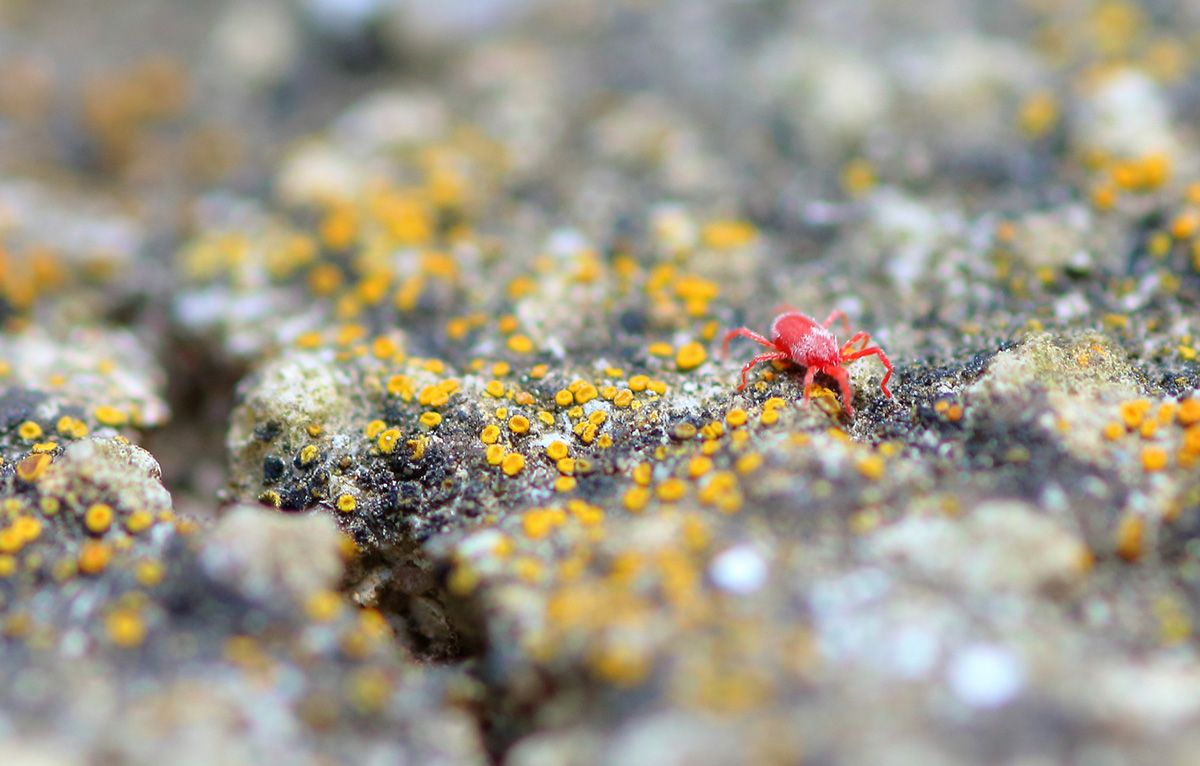 Ever Wondered What Those Pesky Little Red Bugs In Your Garden Are Learn More About Spider Mites Including How To Get Rid Of Them