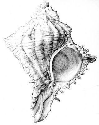 Ilustracion Cientifica Caracola Ilustracion Cientifica Dibujos Ilustraciones