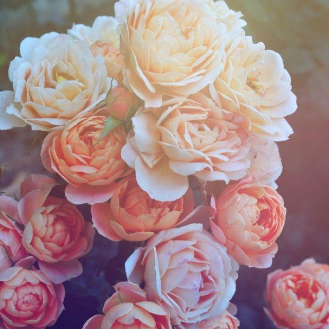 #gardenroses #flowerbeauty