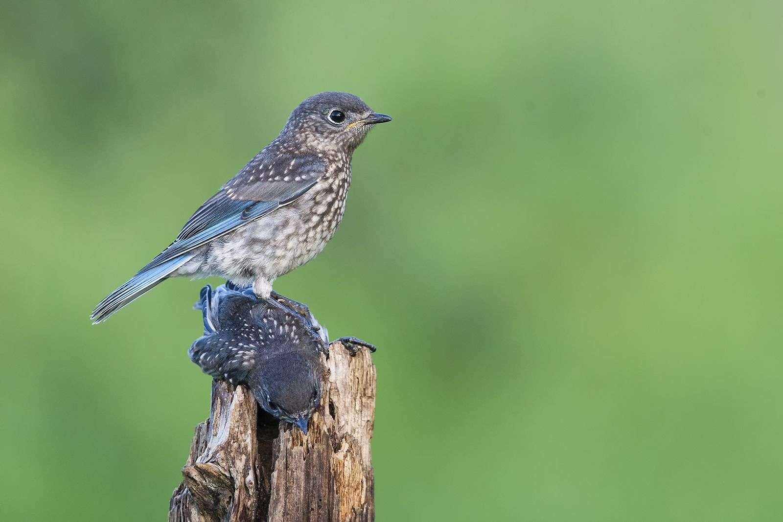 Two recently fledged Eastern Bluebirds were each trying to perch on the same post in…