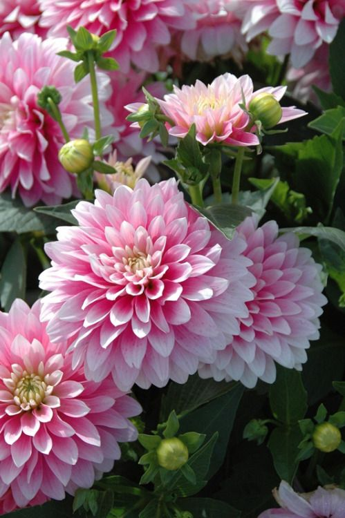 Pink Dahlias Beautiful Flowers Flowers Dahlia Flower