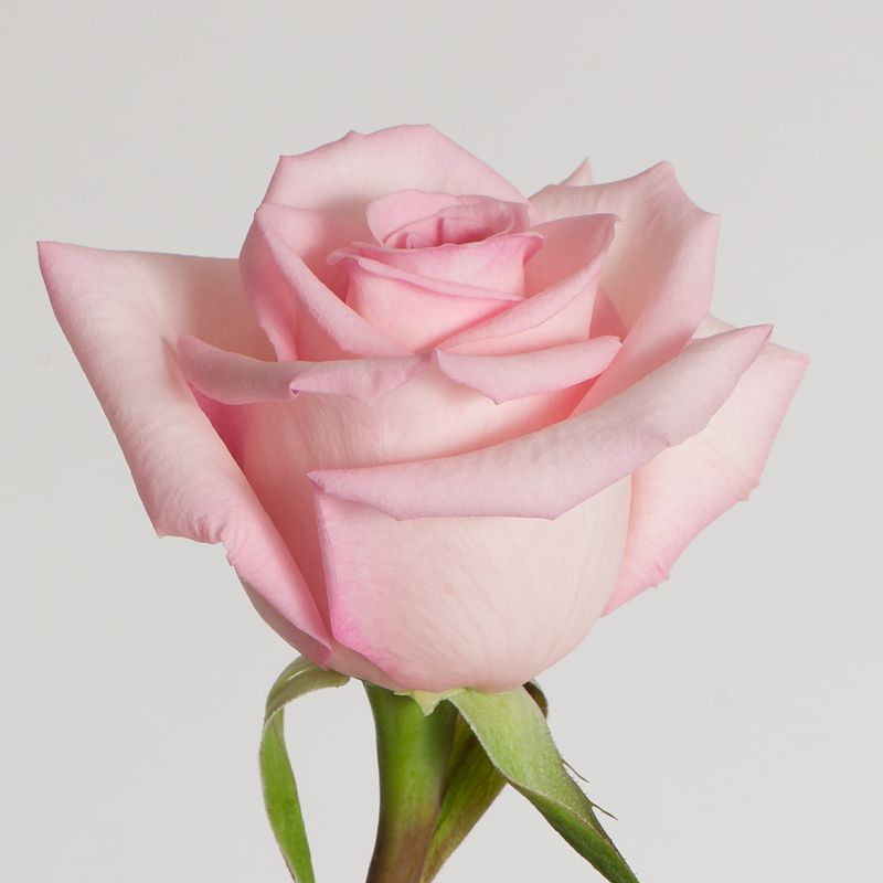 Meet Sophie Simple Sweet Pink This Rose Is The Ideal Pink Rose