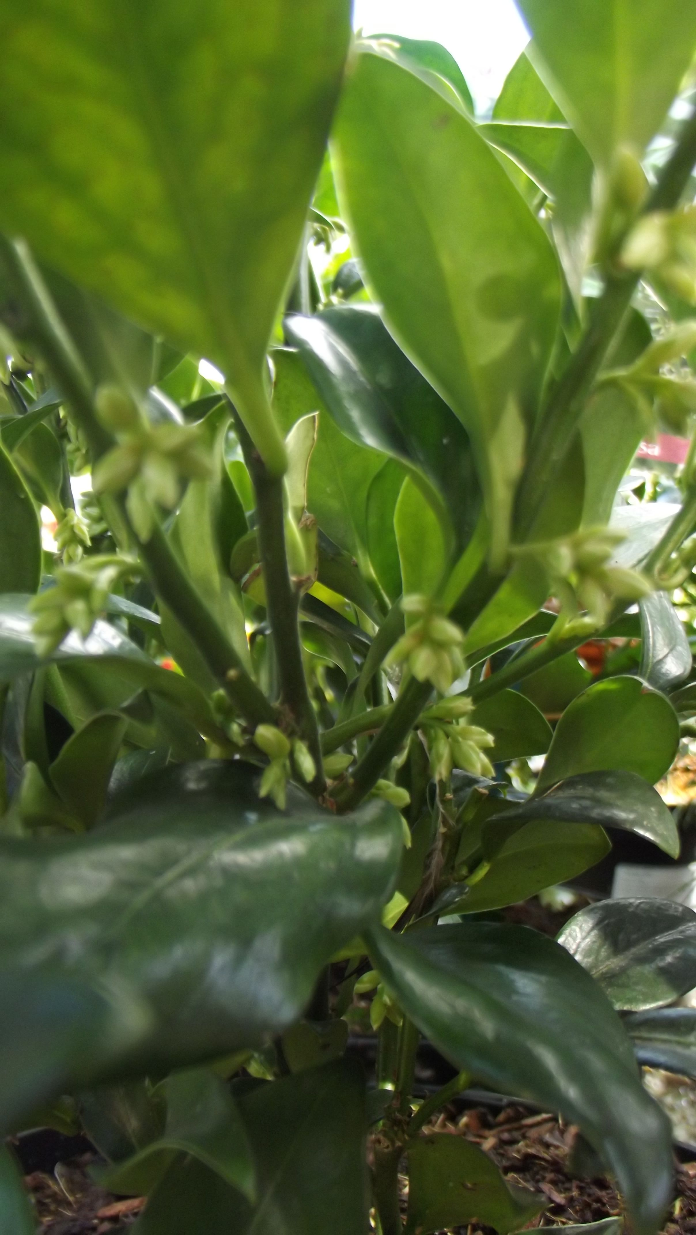 Sarcococca confusa Sweetbox Wonderful winter flowering