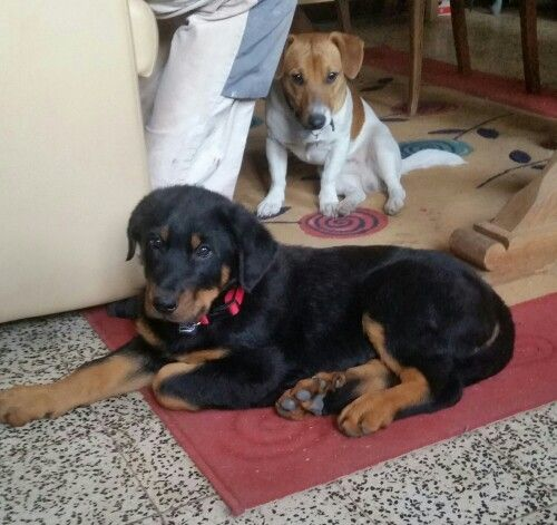 Beauceron love ....