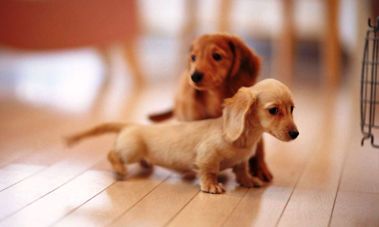 Download Cat And Dog Wallpaper For Android Tablet High Quality Hd Wallpaper In 2k 4k 5k 8k 10k Resolut Dachshund Puppy Miniature Dachshund Puppies Cute Animals