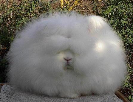 Super Fluffy Rabbit 珍しい動物 動物おもしろ画像 おかしな動物