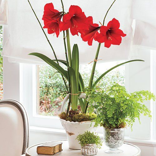 Tips on caring for holiday plants from southern living for Amaryllis bulbe conservation