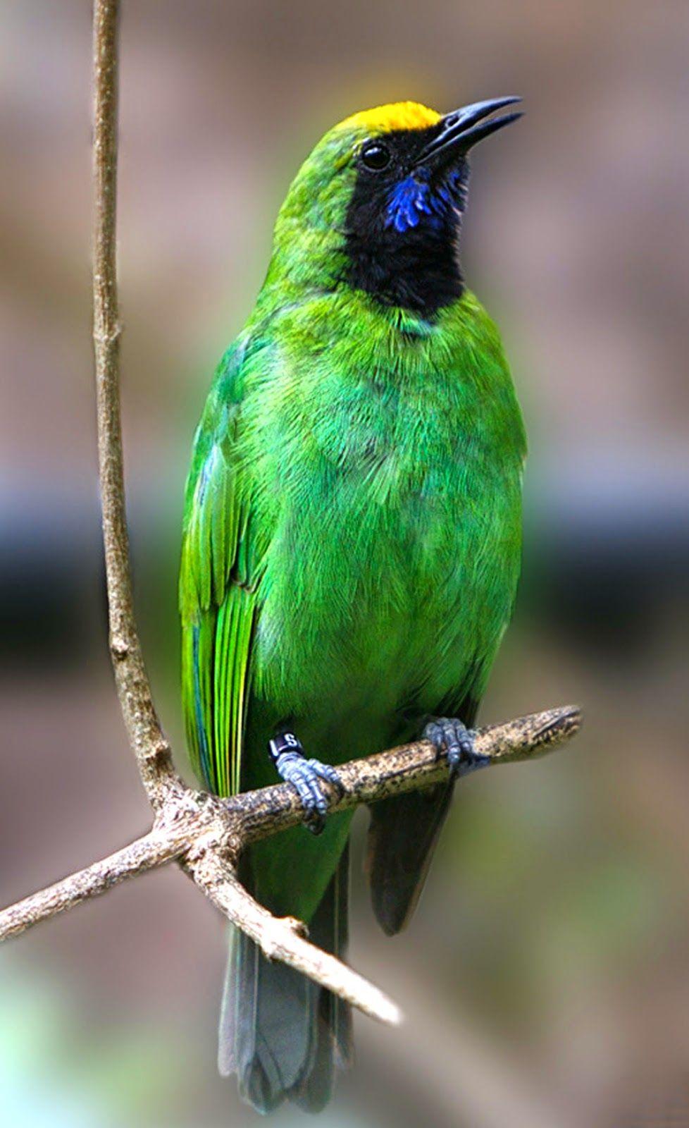 Burung Cucak Ijo Pet Birds Beautiful Birds Bird Species