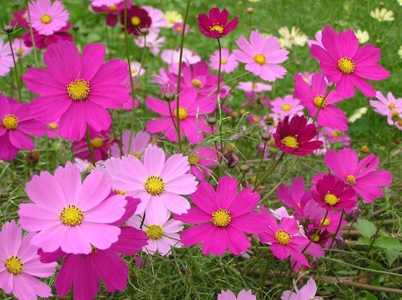 Japanese Plants Amazing Flowers Cosmos Flowers Flower Bouquet Painting