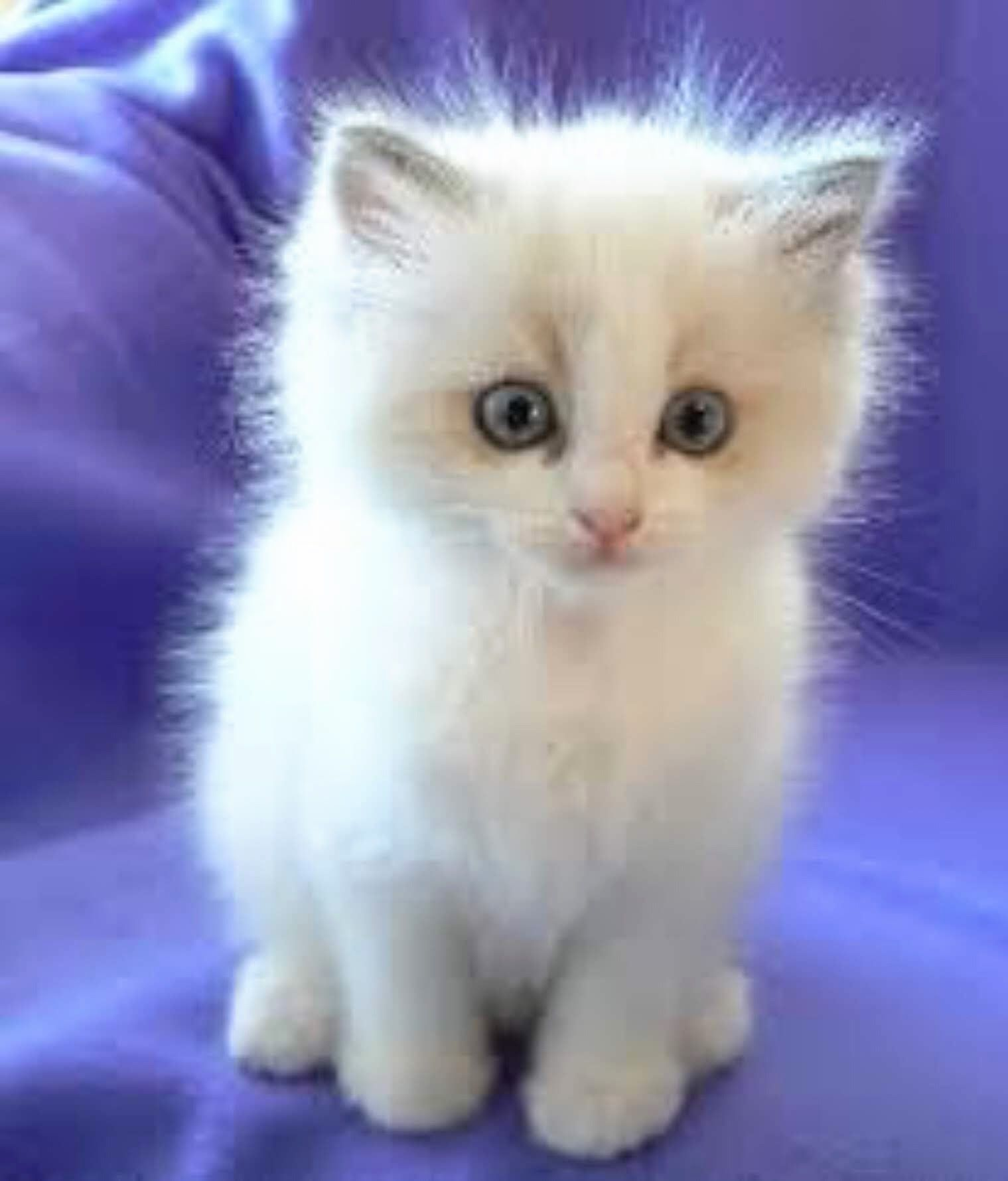 Adorable Fluffy White Kitten Blue Eyes In 2020 Kittens Cutest Cute Cats Pretty Cats