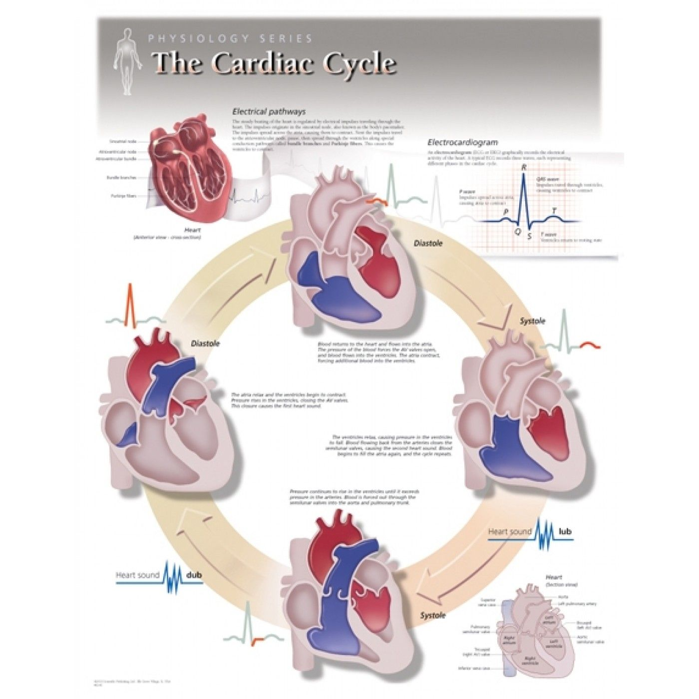 Image result for heart anatomy poster | Anatomy | Pinterest | Heart ...