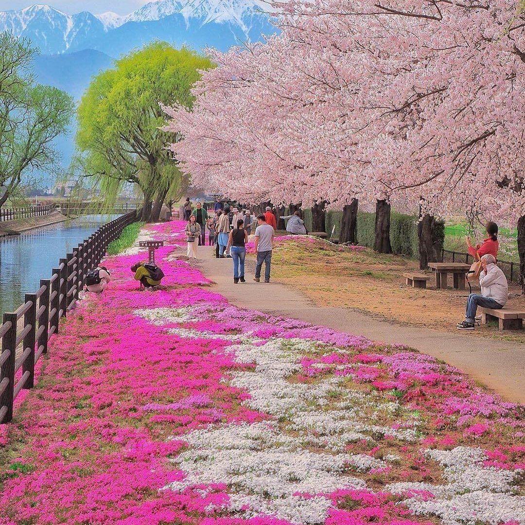 Cherry Blossom Japan Cherry Blossom Japan Cherry Blossom Blossom