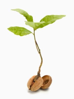 Successfully Grow an Oak Tree by Planting an Acorn | Trees, A tree ...