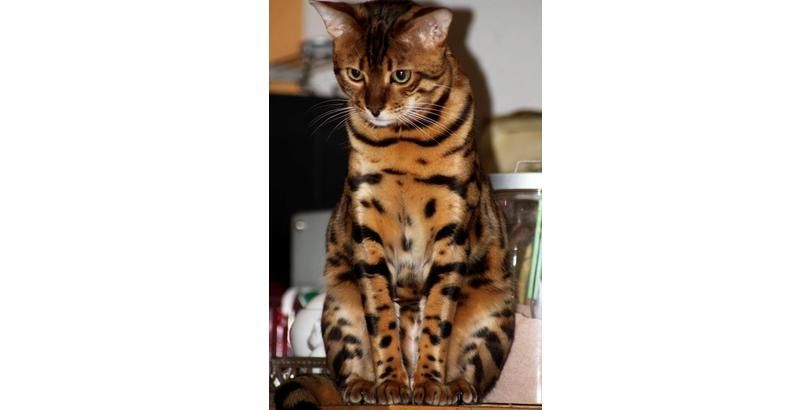 These 39 Cats Have Insanely Cool Fur Patterns! WHOA! (Slide #48) - Pawsome