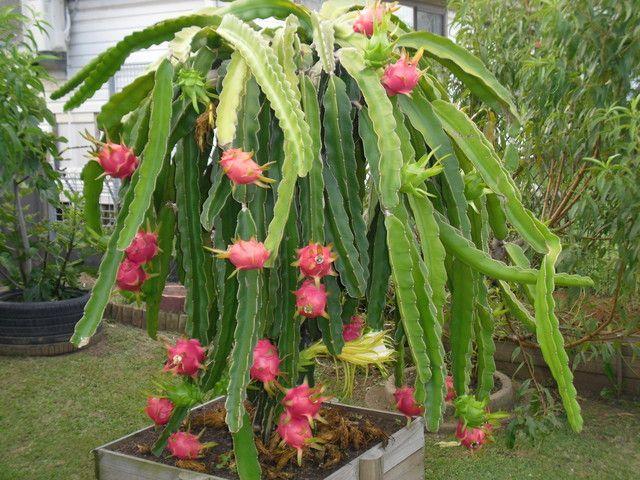 Dragonfruit Dragon Fruit Plant Fruit Plants Plants