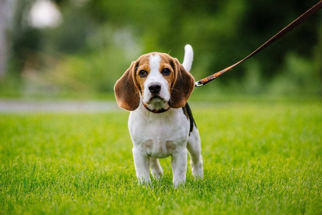 Do Beagles Shed Canna Pet Beagle Dog Dogs Beagle Canna Pet