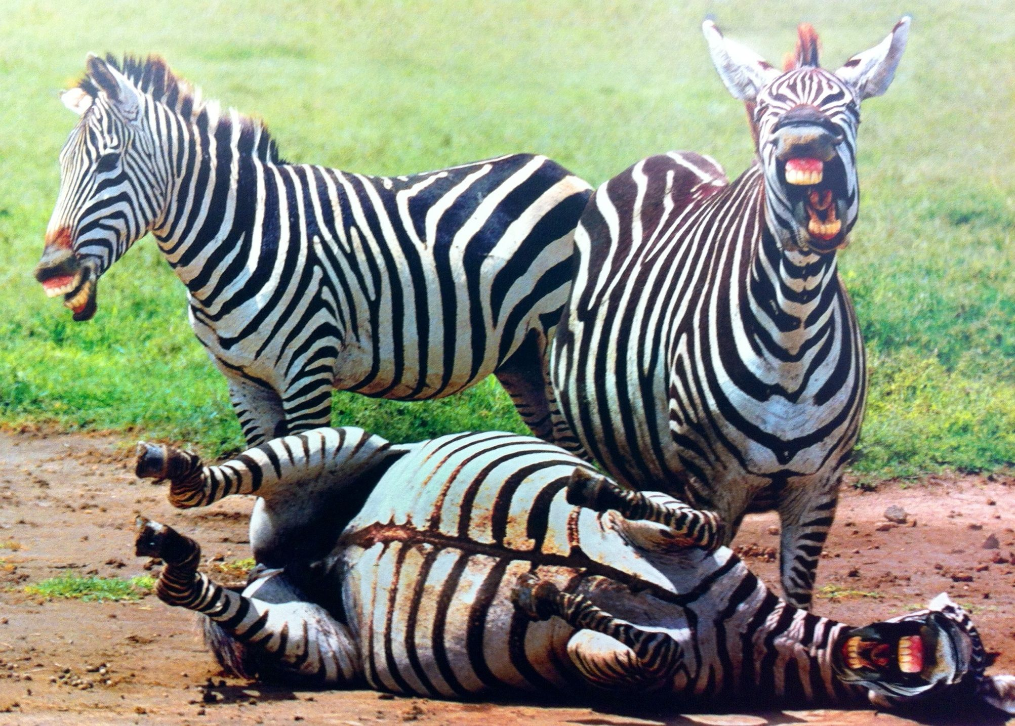 Image result for laughing zebra photos