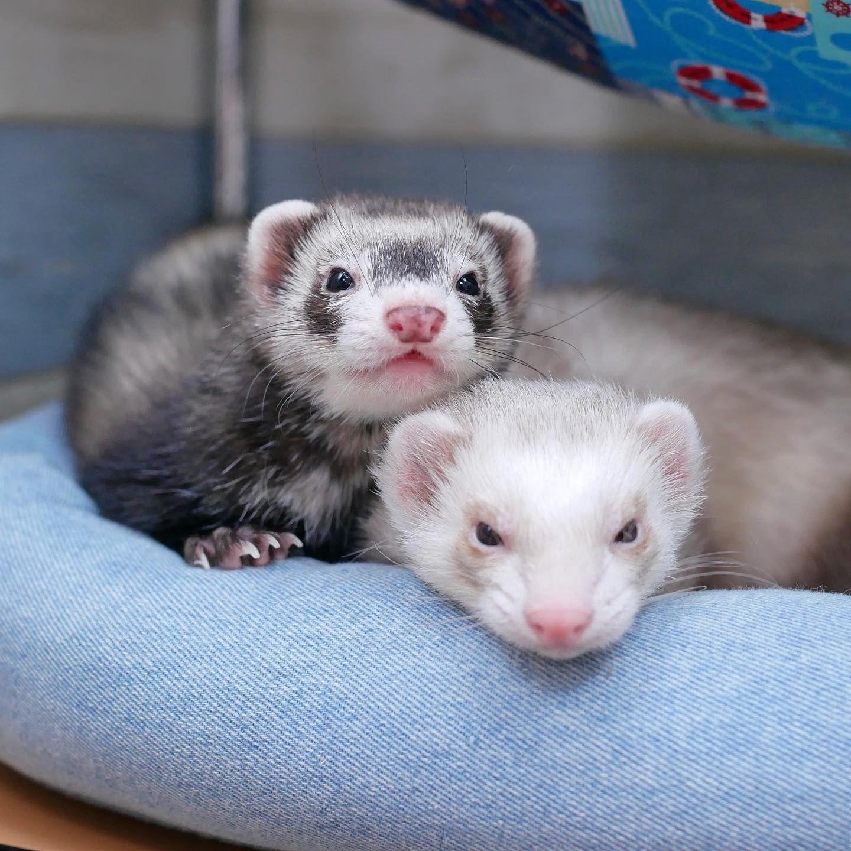 木曜日も仲良く留守番だぞ Ferret Pet Petstagram Instaferret Ferretgram Ferret Animals