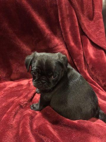Pug Puppy For Sale In Centrahoma Ok Adn 51484 On Puppyfinder Com