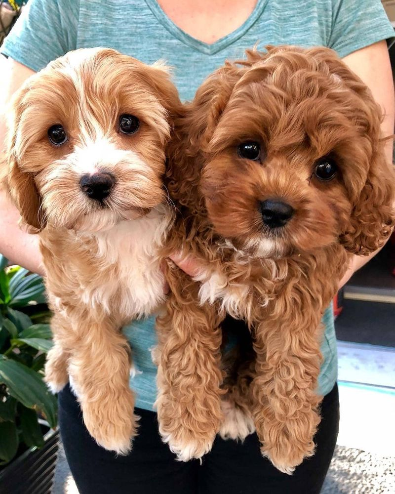 Cavapoo Puppies: Information, Characteristics, Facts, Videos #cavapoo #cavapoopuppies #cutepuppies #dogs