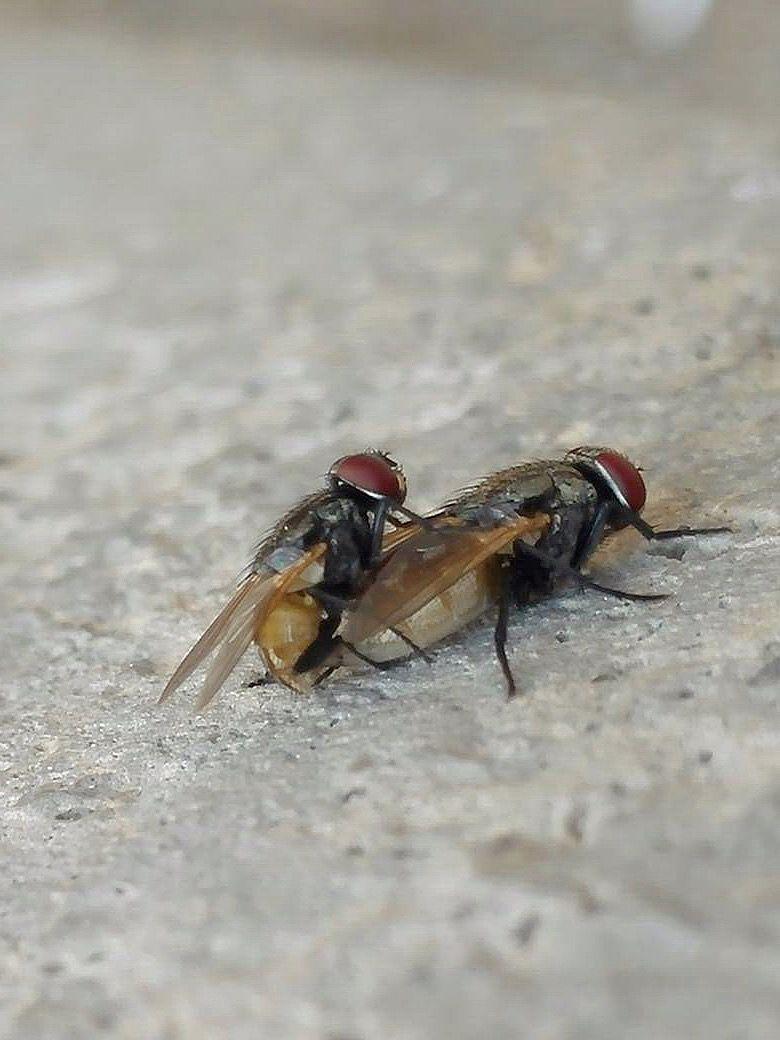 Flies from iran flies pinterest