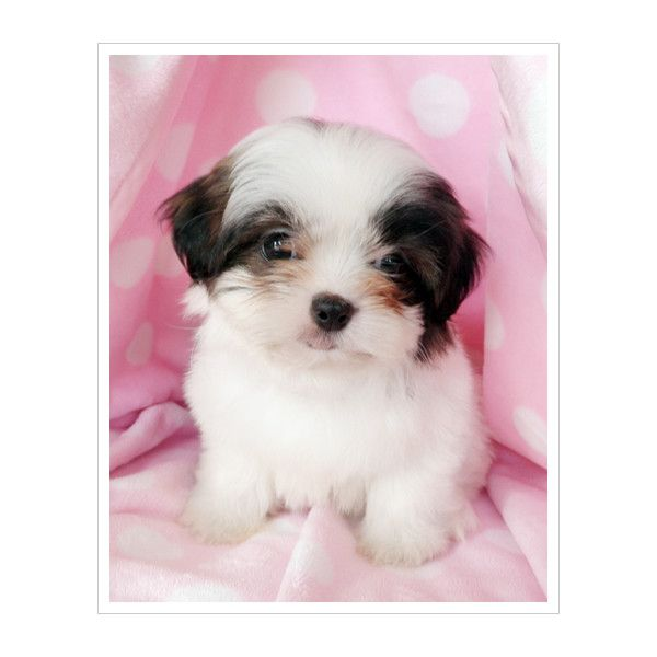 Shih Tzu Puppies For Sale At Teacups Puppies South Florida Liked On Polyvore Shih Tzu Puppy Teacup Puppies Shih Tzu