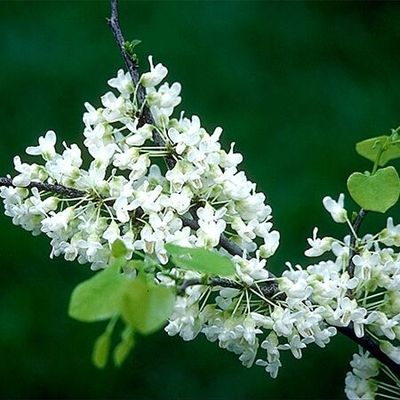 Oklahoma Whitebud Cercis C Ssp Texensis A Beautiful Small Tree With Pure Milky White Flowers In Spring Followed By Glossy
